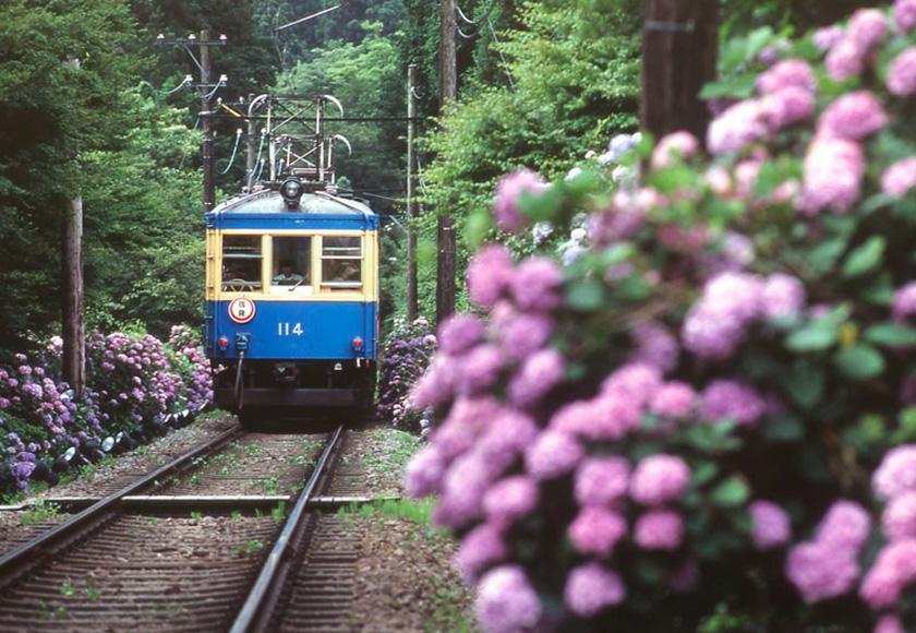 紫陽花と箱根登山電車